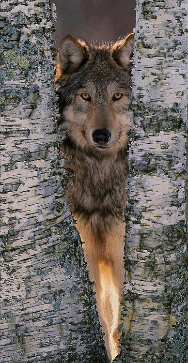 მგელი