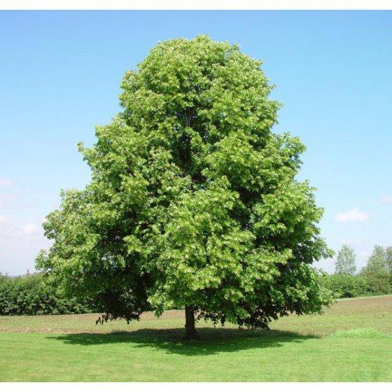 ცაცხვის ხე