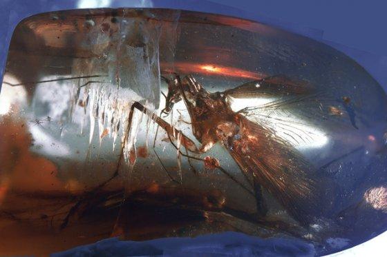 ტარაკანა,რომელიც 100 მილიონი წლისაა