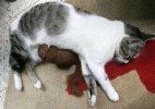 კატა პატარა ციყვს ძუძუთი კვებავს
