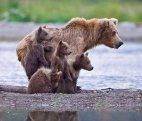დათვი შვილებთან ერთად