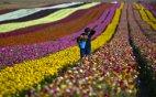 ყვავილების პლანტაცია, ისრაელი