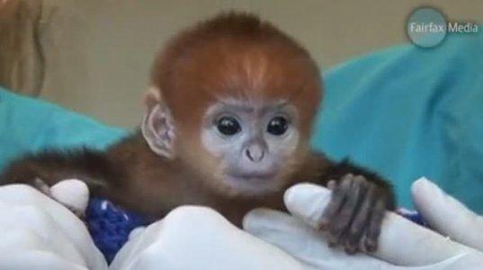 პატარა მაიმუნი ფრანცისკო