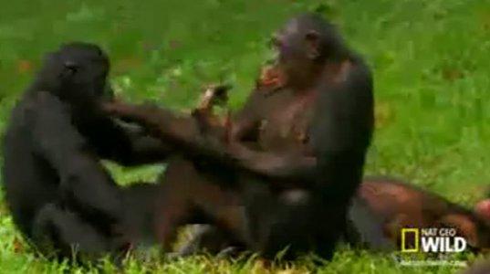 როგორ ცხოვრობენ მაიმუნები