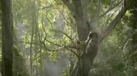 სპილო ხეზე ადის