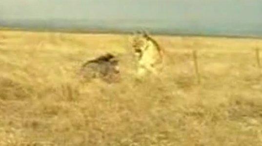 ლომი და გარეული ტახი