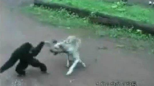 მაიმუნი დასცინის ძაღლს