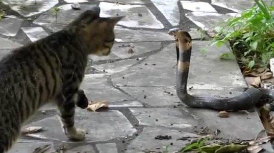 კატა კობრას წინააღმდეგ