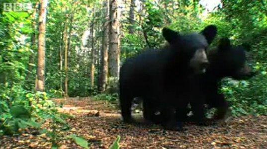 შავი დათვები ამერიკაში