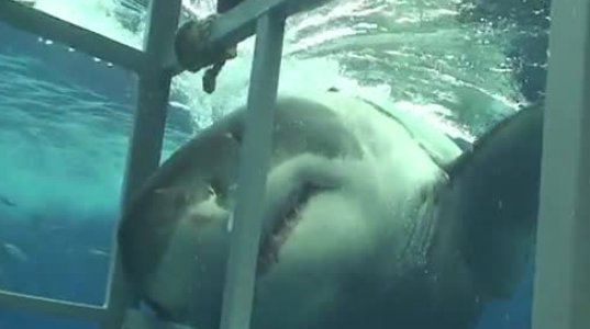 ზვიგენი კაცის ჭამას აპირებს